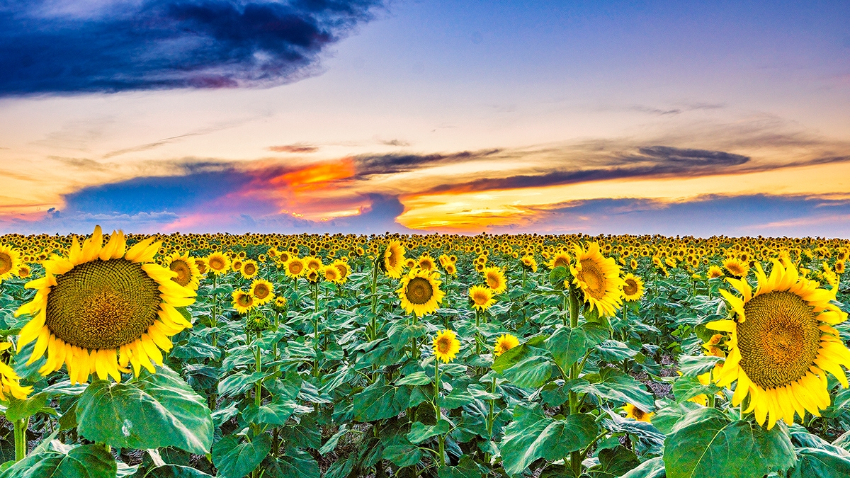 Sunflower-Sunset_DSC8750-Edit