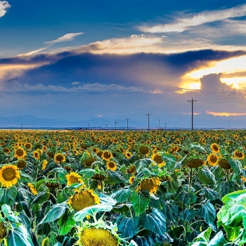 128-Sunflower-Sunset_DSC8731-Pano