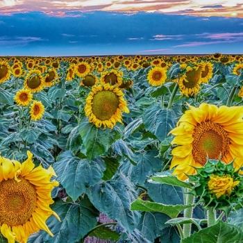 Sunflower Dusk Pano 2018-DSC02697-Pano-Edit