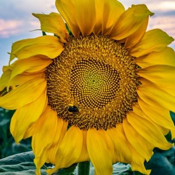 Bee-The-Sunflower-02706
